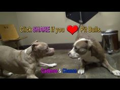 Click SHARE if you LOVE Pit Bulls.