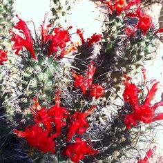 Natures pure red blooms, the Mammillaria poselgeri.