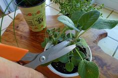 Moving Your Herbs Indoors -prune-sage