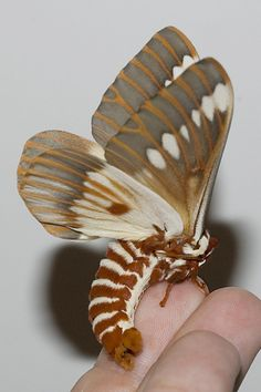 That is one awesome moth..The wings don't look big enough for it's body...