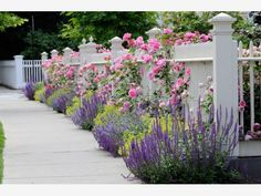 Pink climbing roses on white fence bordering garden and sidewalk. Salvia, sage, catmint and lady's mantle in colorful flower bed