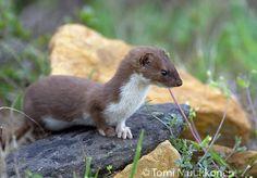 Weasel!