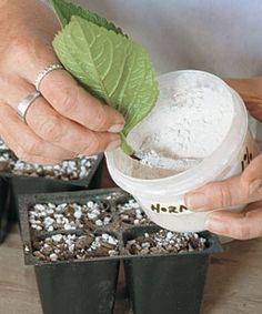 How to root cuttings.
