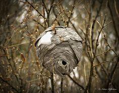 Hornet Nest by Woody 50 on Flickr
