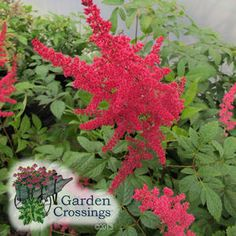 """Astilbe Radius Perennial Plants. Garden Crossings Online Garden Center. Common Name: """"False Spirea"""". Outstanding new hybrid that starts showing off in the spring, foliage emerges dark red, matures to dark green, blooms profusely in midsummer, butterflies love it. Grow in full sun or full shade,  likes moist to boggy soil which does not dry out in the summer. Flower Color: Red Height: 2 Feet     Spread: 1-2 Feet  Hardiness Zone: 3-8"""