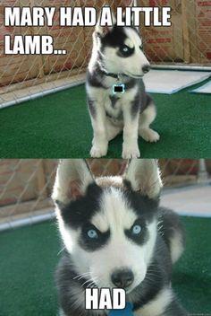 Funny Husky