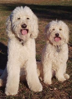 Zoe and Molly  Robin's Goldendoodles