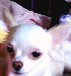 Cute!!! Little chihauhau warrior!