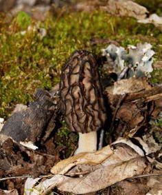 Morel Mushrooms ~ Gaylord MI