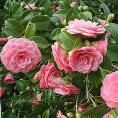 Camilla Japonica: ideal for planting under pine trees. Acidic soil, part shade tolerant. Spring bloomer, evergreen. acid soil, planting under pine trees, camilla japonica, plants under pine trees, shade toler, camellia japonica, acidic soil plants, garden, spring bloomer