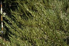 How to Prune Your Rosemary Plants