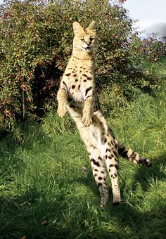 Leaping about by wwmike on Flickr.    Serval leaping for food at WHF Leaping about by wwmike, via Flickr