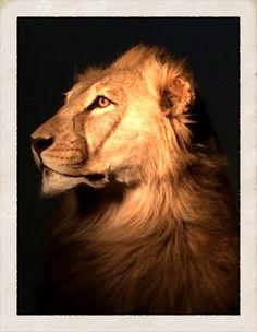 #Lion #Taxidermy by www.SplittingImageTaxidermy.co.za