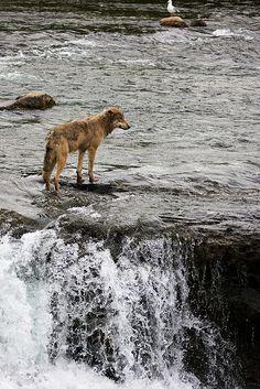 Wolf by Brooks Falls in Katmai National Park #Alaska