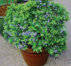 How to plant blueberries in containers or pots