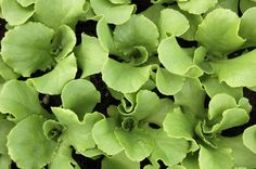 Pirat Lettuce seedlings - HEIRLOOM Heat tolerant variety with notably superior flavor and texture. It has a well-blanched heart surrounded by red-tinged outer leaves. Pirat bested every other variety for taste and texture in our 2003 lettuce trials and also rates as one of the best butterheads in combined resistance to Downy Mildew, White MoLettuce Drop, White Mold, Sclerotinia, Tip Burn, and Bacterial Head Rot.
