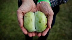 A Coming-Out Party For The Humble Pawpaw, Native Fruit Darling : The Salt : NPR