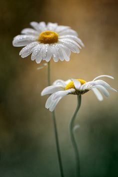 Daisies Pinterest Pin-a-Way by http://www.JoannaMaGrath.com