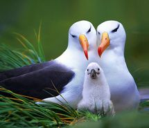 Albatrosses with their baby!  I love Albatrosses!