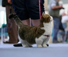 There's a breed of cats called Munchkins. They have really short legs. awww melt my heart!! its like a weenie cat!!!!