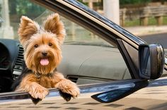 Yorkie Driver ..... Seriously those ears!