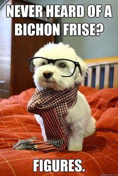 bichon frise #dogs #animal #bichon #frise
