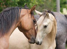caballo, poni, anim, horses, pretti hors, beauti, buckskin, friend, caramel apples