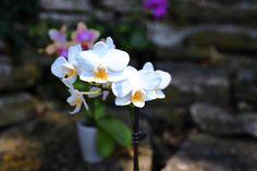 Miniature White Phalaenopsis Orchid miniatur white