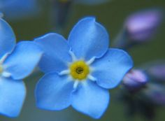 "A Forget me not. ""Forget Not..."""