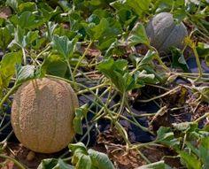 melon growing tips