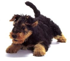 Airedale puppy - too cute! If I ever have another dog.. don't shed
