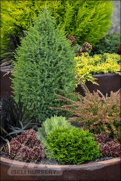 Cool little conifers make great holiday gifts | The Amazing World of Conifers