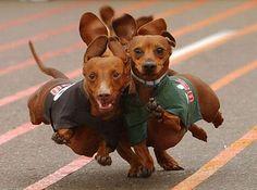 Weiner dog races... funny animals, weenie dogs, dachshund, dog runs, puppi, race day, weiner dogs, wiener dogs, hot dogs