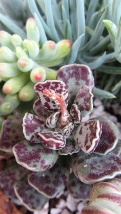 succul plant, adromischus maclatus, adromischus maculatus, garden succul, cacti, flower power, suculenta, flowers garden, cactus