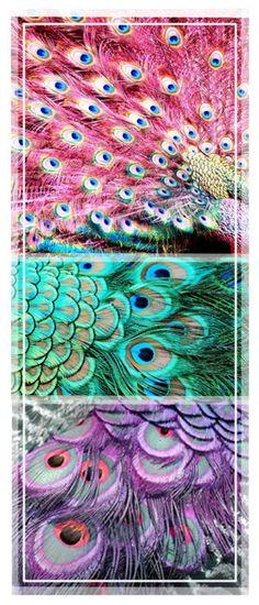 peacocks rainbow