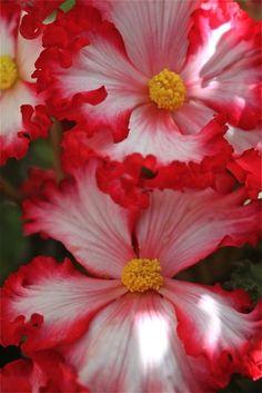 Begonia/ATTRACTS: Hummingbirds.