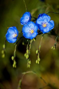 ~~blue flax with droplets by raspberrytart~~