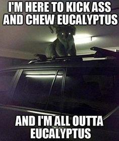 Koala has plans