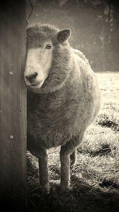 sheepish by karena goldfinch, via Flickr