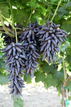 A fancy new hybrid grape is all the rage these days : WITCH FINGERS!