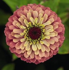 Zinnia Queen Lime Red, how pretty