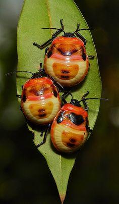 camellia shield bug/tea seed bug nymphs, poecilocoris latus