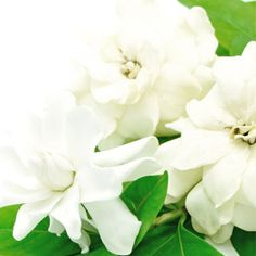 White Gardenia Fragr
