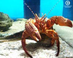 """Meet Dozer, a Giant Red Hermit Crab!! Dozer has made his home with Spot and Scarlet and spends his days cleaning up and keeping the trio's home clean. Did you know hermit crabs are known as the """"clean up crew"""" of the ocean?!"""