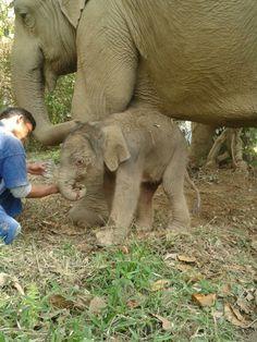 Brand new boy, born today at The Golden Triangle Asian Elephant Foundation in Thailand  http://www.helpingelephants.org/home.html  http://goldentriangle.anantara.com/elephantcamp.aspx