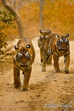 Tigers   Flickr - Photo Sharing!