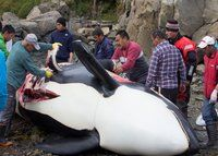 THIS CROSSES THE LINE! Killer whales on the Greenland menu – a cause of concern! - Wildlife Earth for the latest wildlife news on Pinterest.