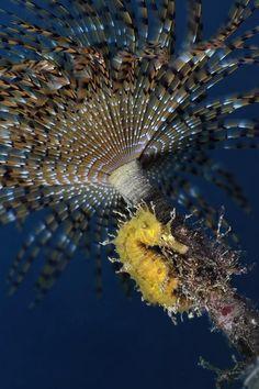 Hippocampus guttulatus under Sabella spallanzani by Alessandro Pegano