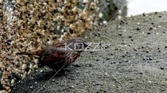 small bird eating food. - Video of a small bird hopping and eating food.