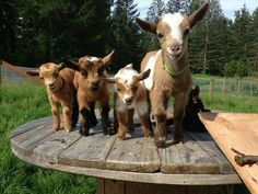 Goats on a table!